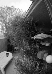 Pencil Plant (34) (Ron of the Desert) Tags: deserthotsprings coachellavalley california goprohero5black gopro hero5 hero5black pencilplant euphorbiatirucalli blackwhite