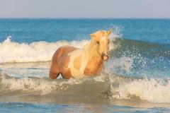 Evening Unwind (Michael Rickard) Tags: wildhorse horse ocean sea summer blue waves beach maryland surf sunset evening