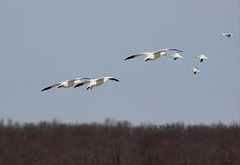 Snow geese flying (pegase1972) Tags: snow geese flying oie goose bird migrating