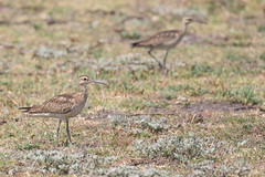 Little Curlew (petefeats) Tags: atkinsondam australia birds charadriiformes littlecurlew nature numeniusminutus queensland scolopacidae