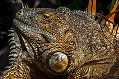 Profile shot (xrayman.dd) Tags: floridafauna iguana