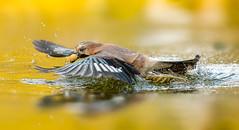catch it ..... (hardy-gjK) Tags: jay eichelhäher bird vogel oiseau water wasser eau etang lake see weiher wildlife snapshot hardy nikon