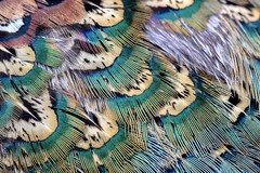 Ring Necked Pheasant Feathers (Sandra Mahle) Tags: feathers ringneckpheasant pheasant naturephotography nature canonphotography canon bird birds wildlife ngysa