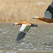 Ruddy Shelduck (Tadorna ferruginea)