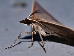 Magpie Beak moth Epidesmia sp aff tryxaria oenochrominae Geometridae Geometroidea Mandalay Rainforest Airlie Beach P1088435 (Steve & Alison1) Tags: magpie beak moth epidesmia sp aff tryxaria oenochrominae geometridae geometroidea mandalay rainforest airlie beach