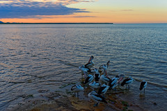 Cairns sunrise with Pelicans (buberfan) Tags: pelican sunrise dawn cairns sea