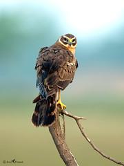 Montagu harrier (female) (arunprasad.shots) Tags: ngc explore harrier grassland migration perch birding nature wild nikon bokeh india chennai