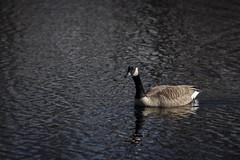 Goose friend (ivanrhahn) Tags: goose bird water nature animals animal