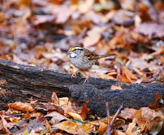 white-throated sparrow (madeofchalk) Tags: whitethroatedsparrow sparrow birdphotography birdwatching canon canonphotography canon6d