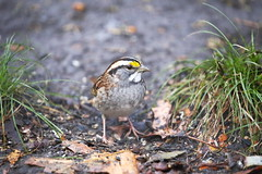 white-throated sparrow 2 (madeofchalk) Tags: whitethroatedsparrow sparrow birdphotography birdwatching canon canonphotography canon6d