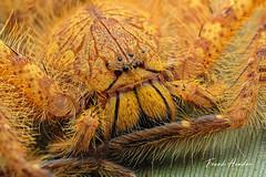 David Bowie Huntsman (F.Hendre) Tags: hetropodadavidbowie pahang malaysia davidbowiehuntsman huntsman spider arachnid macro stack