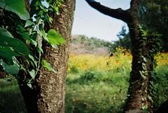 (lemonhats) Tags: fujicardiaminieverydayop fujinon4528 lomocolor100 classiccamera compactcamera 28mmf45 autofocusfixedprimelens iso100 35mmcolorprintfilm traditionalphotography analoguephotography filmphotography filmisnotdead filmisalive shootfilm believeinfilm filmcommunity filmforever fpper walking hikarigaokapark nerimaku tokyoto japan autumn green