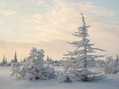 November light (Fjällkantsbon) Tags: lappland blaikfjälletsnaturreservat evamårtensson brännåker sverige västerbottenslän lapland sapmi taiga wintersun snow winter