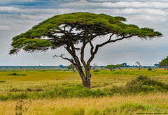 2019.06.08.3830 Umbrella Thorn Acacia (Brunswick Forge) Tags: grouped tanzania africa serengeti serengetinationalpark outdoor outdoors tree trees nature nikkor200500mm summer winter nikond500 day cloudy clear sky air
