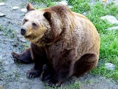 I Wanna Be Your Teddy Bear !♩♫ (ursula.valtiner) Tags: natur nature tier animal bär bear braunbär brownbear ursusarctosarctos wildpark wildlifepark derwildeberg mautern steiermark styria austria autriche österreich