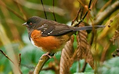 Spotted Towhee (richmondbrian) Tags: dncb 201948 stanley park spotted towhee