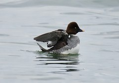 Common Goldeneye (richmondbrian) Tags: dncb 201948 stanley park common goldeneye