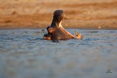 Young Hippo Yawn (Glatz Nature Photography) Tags: africa botswana choberiver glatznaturephotography nature nikond850 wildanimal wildlife hippopotamus hippopotamusamphibius yawn teeth river chobenationalpark