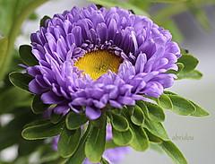 Aster Explored 21.11.2019 #81 (abrideu) Tags: abrideu canoneos100d aster macro flower depthoffield bright bokeh bouquet ngc explored explore npc
