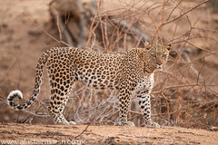 Leopard (Alastair Marsh Photography) Tags: leopard femaleleopard africa africanwildlife africanmammal africanmammals cat bigcat bigcats erindi erindigamereserve safari animal animals animalsintheirlandscape wildlife desert namibia sunset sun sunlight