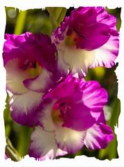 Cerise delight (Audrey A Jackson) Tags: canon60d flower colour cerise white petals nataure garden macro closeup