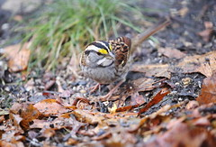 white-throated sparrow 3 (madeofchalk) Tags: whitethroatedsparrow birdphotography birdwatching canon canon6d canonphotography