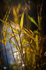 Last autumn sun ☀️🌱 (Martin Bärtges) Tags: blau blue wasser water yellow gelb grün green farbenfroh colorful naturfotografie naturliebhaber naturephotography naturelovers natur nature outside outdoor drausen spiegellos mirrorless nikonphotography nikonfotografie z6 nikon herbstfarben herbst autumn autumncolors sonnenstrahlen raysoflight sonnenlicht sonnenschein sonne sunset sunlight sun pflanzen plants gras grass sedge schilf