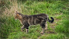 Oly_PA250489 (calpha19) Tags: imagesvoyagesphotography adobephotoshoplightroom zuiko olympusomdem1mkii m12100f4 surlevif chat cats félin titine geo flickrsexplore animalier animal vosges grangessurvologne grandest chasse olympus m60mm f28 macro