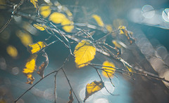 bokeh leaves (Dhina A) Tags: sony a7rii ilce7rm2 a7r2 a7r trioplan 100mm f28 meyeroptiktrioplan100mmf28 meyeroptik meyer optik 15blades m42 circle bokeh bubble leaves autumn