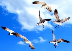 The birds (thomasgorman1) Tags: canon seagulls flock seabirds birds shorebirds beach sky mexico morelos nature clouds