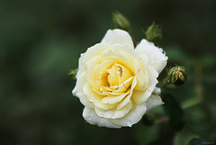 yellow rose (Christine_S.) Tags: bokeh yellowflowers floralphotography flower rosegarden ishioka ibarakiflowerpark japan nature closeup mirrorless canoneosm5 ef100mmf28l droplets waterdrops rain raindrops hbw