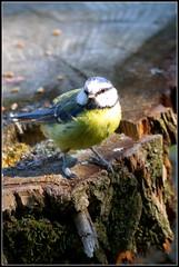 Barnwell Country Park (Lotsapix) Tags: northamptonshire barnwell country park oundle wildlife bird tit bluetit