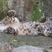 Snow Leopard Rolling Playfully