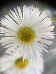 Annual fleabane (jamesgarland678) Tags: beautyinnature closeup nature image flower