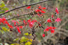 Autumn Leaves (Croydon Clicker) Tags: park wildlife beckenham london bromley kent nikon sigma leaves autumn fall colour tree