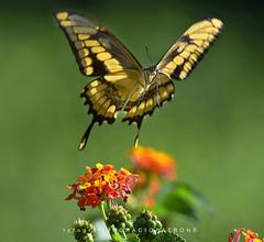 - MARIPOSA LIMONERA EN VUELO..(Papilio thoas- thoasswallowtail  ) toma en BOTANICO THAYS! - Argentina (FISHERMAN'S PASSION AND OPEN NATURE...) Tags: papiliothoas thoasswallowtail butterflies thoass mariposa horaciopatrone recoleta palermo botanicothays horaciopatronephotography mariposalimonero kingswallowtail buenosaires argentina florayfauna fotografianaturaleza swallowtail