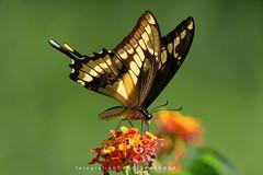 - CONTRALUZ MARIPOSA LIMONERA (Papilio thoas- thoasswallowtail  ) toma en BOTANICO THAYS! - Argentina (FISHERMAN'S PASSION AND OPEN NATURE...) Tags: kingswallowtail mariposalimonero horaciopatronephotography botanicothays palermo recoleta horaciopatrone mariposa thoass butterflies thoasswallowtail papiliothoas buenosaires argentina florayfauna fotografianaturaleza swallowtail