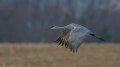 Sandhill Crane 0933 (Paul McGoveran) Tags: bif bird birdinflight longpoint nature nikon500mmf4 nikond850 norfolkcounty sandhillcrane wings coth5
