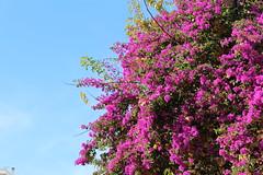 Καλημέρα! ~ Good morning! :-) (Argyro Poursanidou) Tags: bougainvillea flower flora sky pink autumn φύση φθινόπωρο βουκαμβίλια
