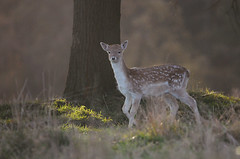 Autumn Morning (andy_AHG) Tags: wildlife autumn stag fallowdeerbuck antlers animals nikond300s yorkshire fawn
