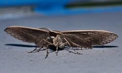 Magpie Beak moth Epidesmia sp aff tryxaria oenochrominae Geometridae Geometroidea Mandalay Rainforest Airlie Beach P1088433 (Steve & Alison1) Tags: magpie beak moth epidesmia sp aff tryxaria oenochrominae geometridae geometroidea mandalay rainforest airlie beach