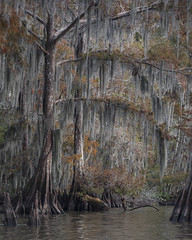 Strange Fruit (Andrew G Robertson) Tags: bayou cajun country louisiana spanish moss lake fausse pointe cypress tree swamp lafayette new orleans autumn fall