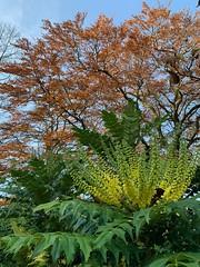Mahonia (markshephard800) Tags: autumnal flores bloemen blumen fiori fleurs flowers flora mahonia barshawpark
