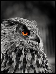 Uhu (tingel79) Tags: soe blackwhite animal animaleye animalface portrait uhu owl birds bw schwarzweis outdoor tingelpixx germany view eyes federn fe70200mmf4goss sony photography photograph nature natur