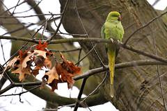Ring Necked Parakeet (Croydon Clicker) Tags: park wildlife beckenham london bromley kent nikon sigma bird parakeet tree leaves branch green