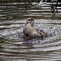 Egyptian Goose (Croydon Clicker) Tags: park wildlife beckenham london bromley kent nikon sigma bird goose wash splash water lake