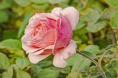 Morning frost (a7m2) Tags: vienna hietzing schönbrunn castle garden rose flower flora travel natur morgenfrost morningfrost