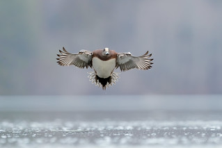 Incoming and Landing at the Lagoon - American Wigeon Style