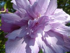 P1090497 (amalia_mar) Tags: flower flora fiori fleur purple pinkpurplewednesday garden nature colorfulnature closeup details light shadow
