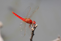 Broad Scarlet ♂ Crocothemis erythraea (Roger Wasley) Tags: broadscarlet male crocothemiserythraea zambia south luangwa nationalpark dragonfly insect dragonflies red africa african wildlife river